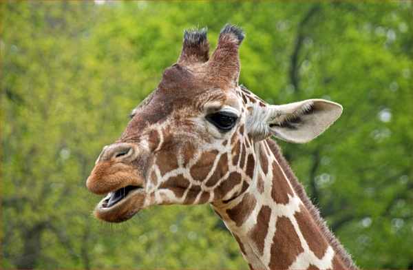 Reticulated giraffe by Fred263