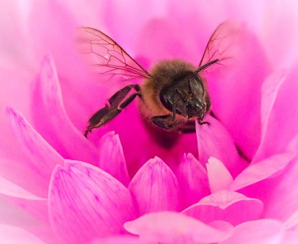 Honey Bee by pauljt