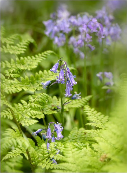 Bluebells And Fern by capto