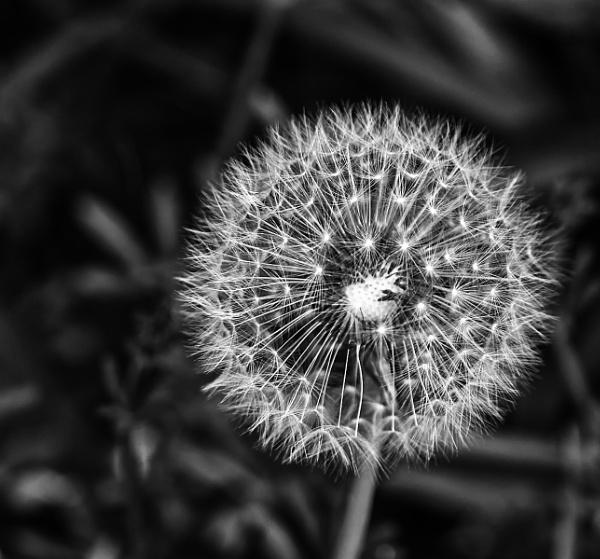 Dandelion by bledzo