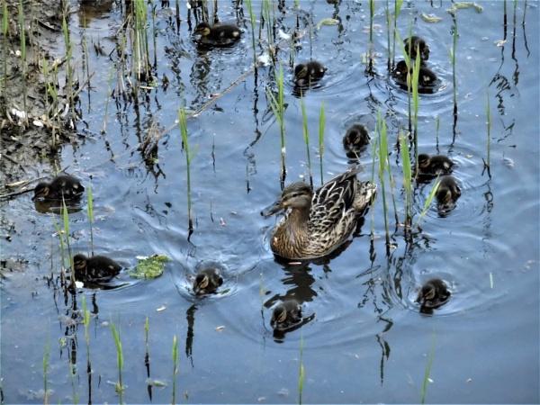 ducklings by jenny007