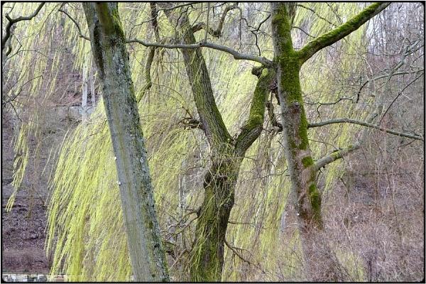 spring willlows by FabioKeiner