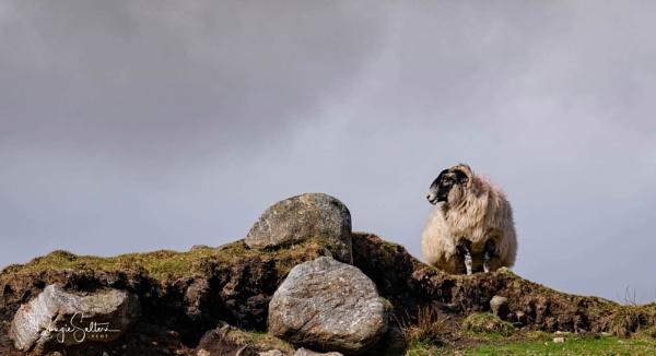 One Sheep... by Scottishlandscapes
