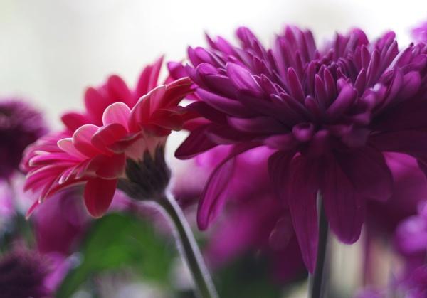 Chrysanthemum and Gerbera. by Mollycat
