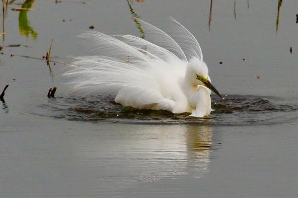 Great white egret. by Lencollard