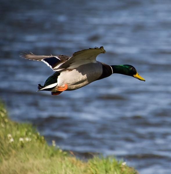 Mallard taking off by Madoldie