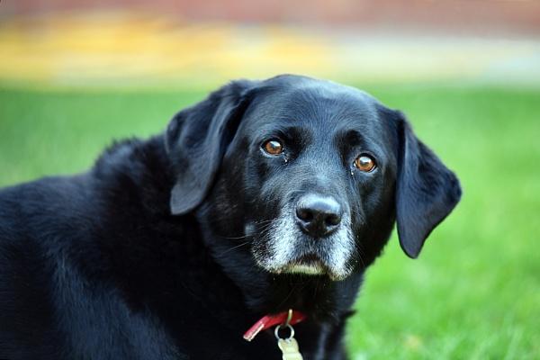 Pepper - Black Labrador by onlythepony