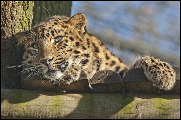 Amur cub by rickie