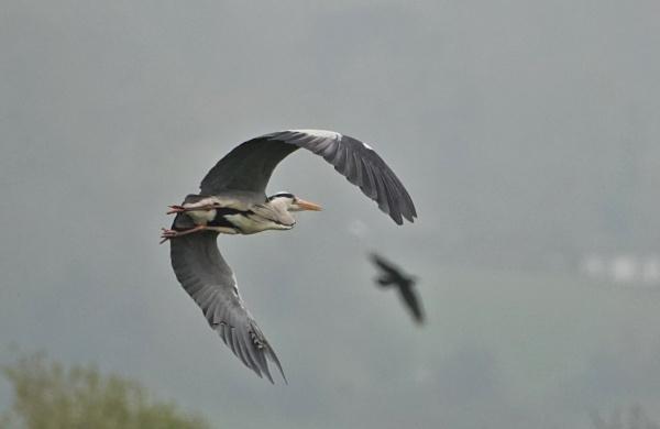 Heron in flight by frogs123