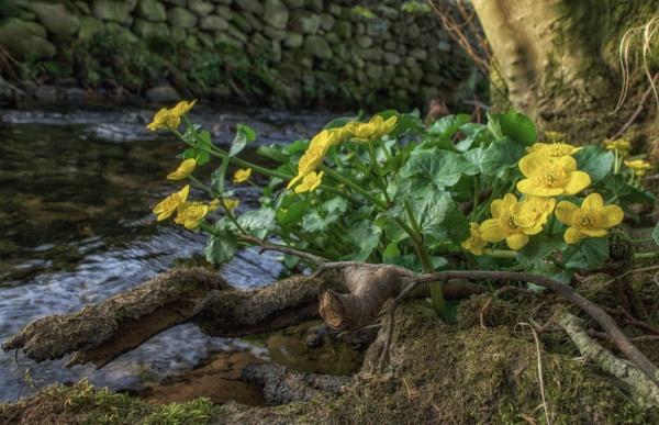 Marsh marigold by BillRookery