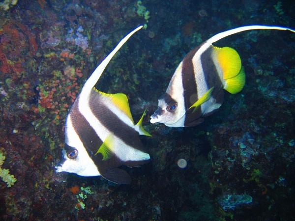 Pennant Coralfish (Heniochus acuminatus) by mikekay