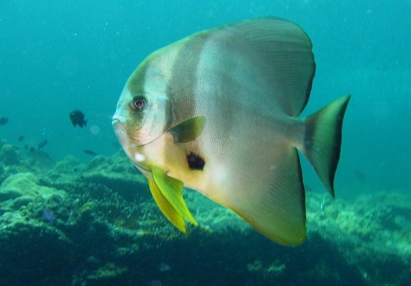 Batfish (Platax teira) by mikekay