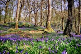 Bluebells Carstramon Woods