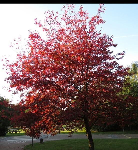 Beautiful Acer Wakehurst by newbe2
