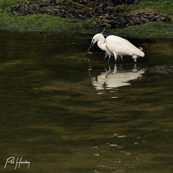 Little Egret fishing by HemsleyPhoto