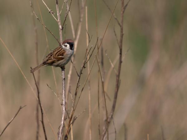 Tree Sparrow by rawshooter
