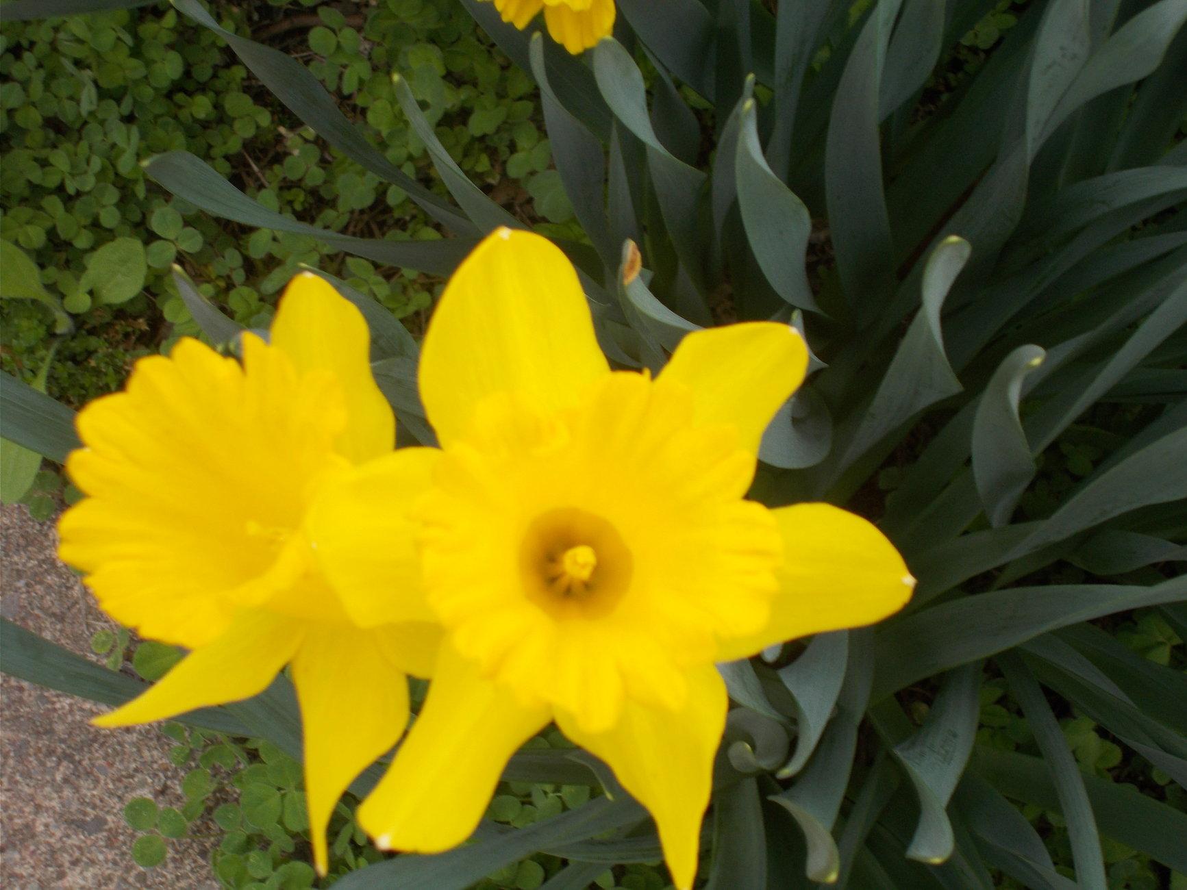 A Yellow Daffodil