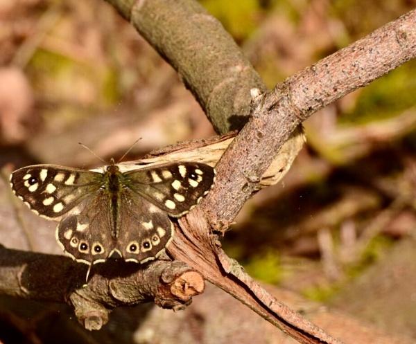 Butterfly by BertM
