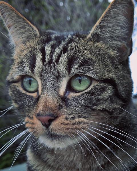 Tabby cat by AliEscobar