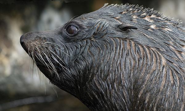 Fur Seal, Torquay Living Coasts by royd63uk