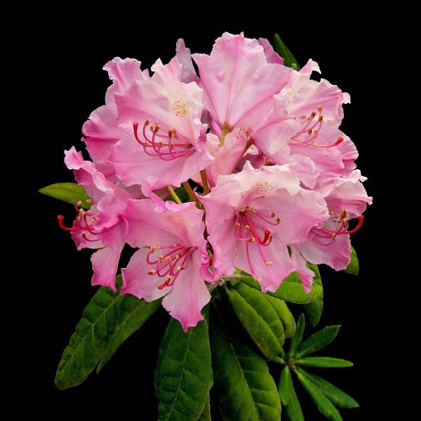 Pink Rhododendron Cluster by pamelajean