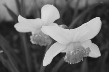 """~ """"Daffodils in Ebony"""""""