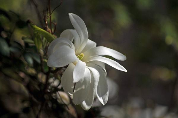 Magnolia by viscostatic