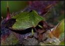 Green Shield Bug ...