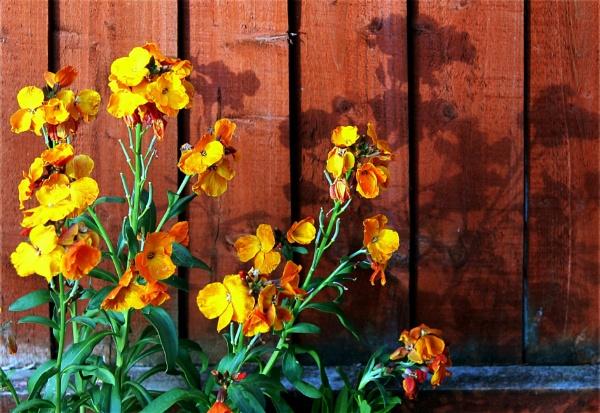 Wallflowers and shadows by helenlinda