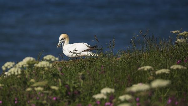 Gannet (Morus bassanus) by Houndog18