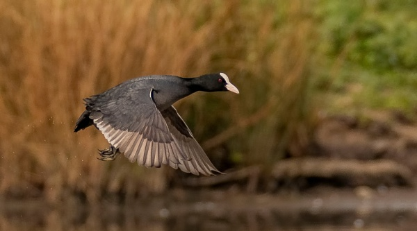 Coot by Mike_Smith