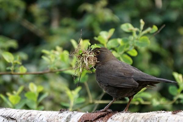 Nesting Blackbird by Silverzone