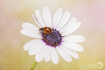 Osteospermum and ladybird