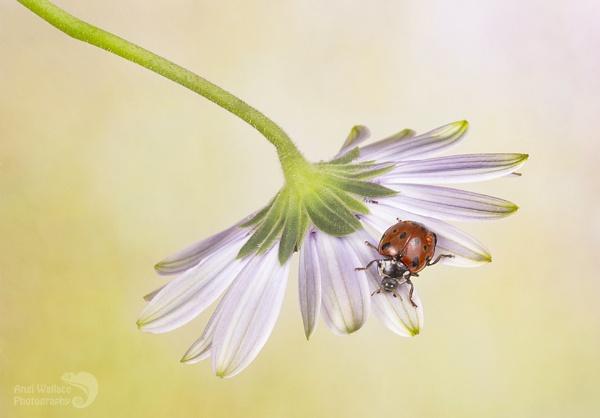 Ladybird on Osteospermum by Angi_Wallace