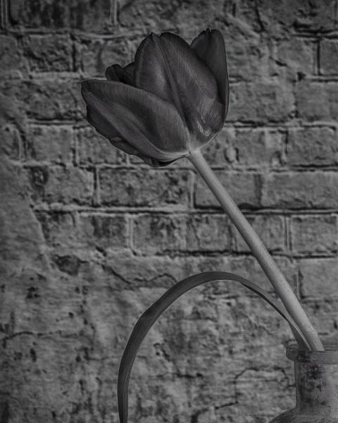 Tulip in mono by KazG