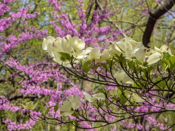 Dogwood and Eastern Redbud by davetac