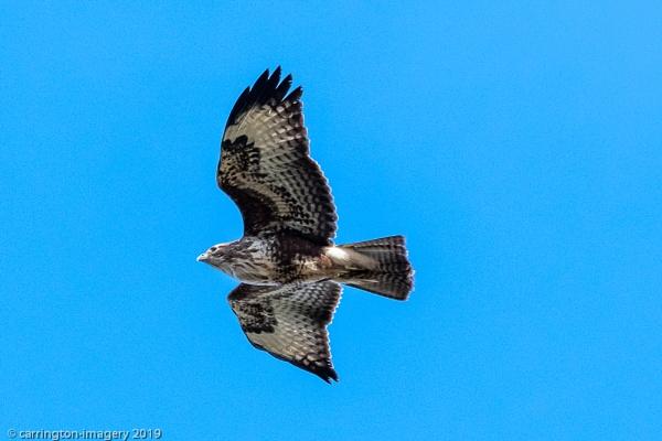 Buzzard in Flight by CImagery