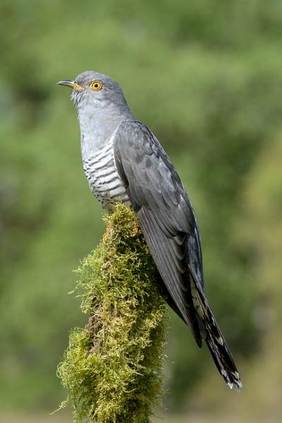 Cuckoo by AlanWillis