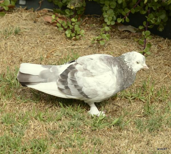 Pigeon in my back yard by amckerra