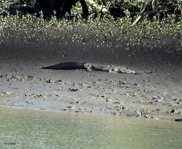 Crocodile sunbathing by debu