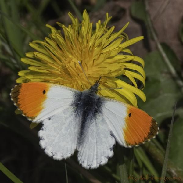Orange-tip White by Alan_Baseley