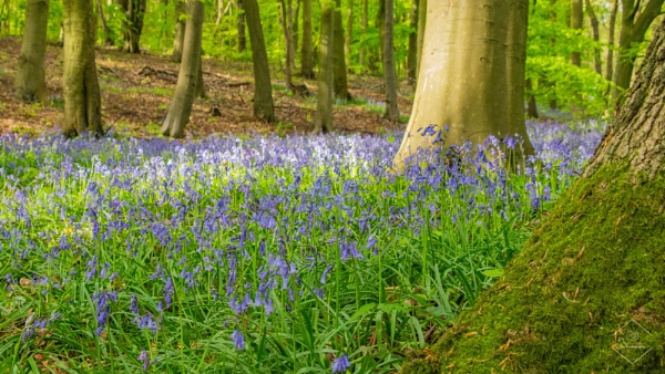 Mossy Bluebells by Jodyw17