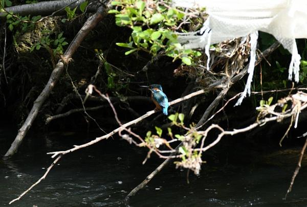 Kingfisher by ShaunsPics