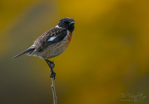 Stonechat by MartinWait