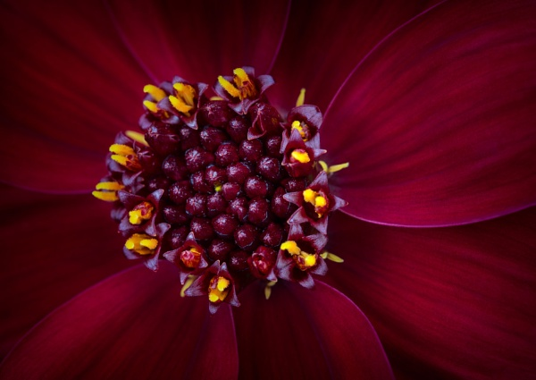 Dahlia by gowebgo