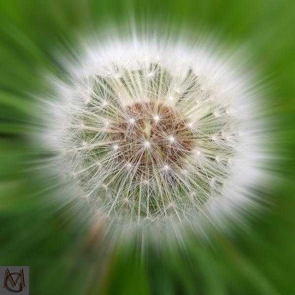 Dandelion by mohikan22