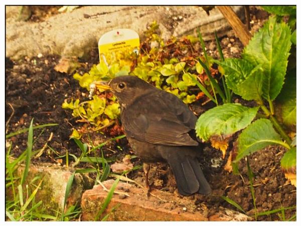 BLACKBIRD. by kojack