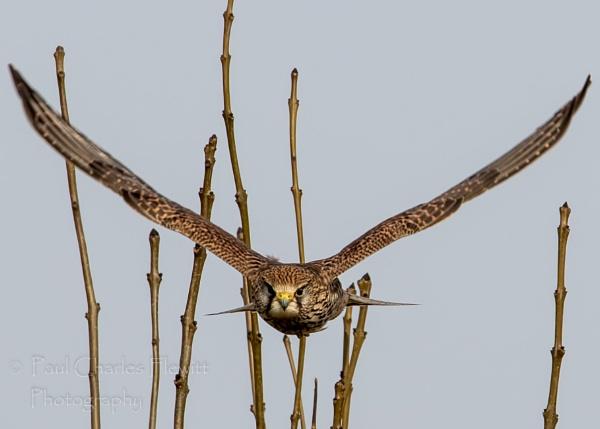 Female Kestrel by Paulspix
