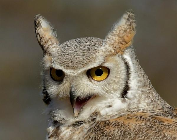 Owl portrait by nealie