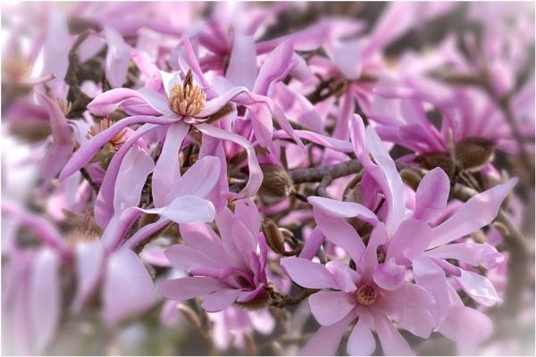 Magnolias by capto